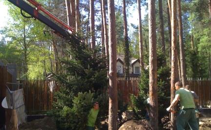 przesadzanie drzew2